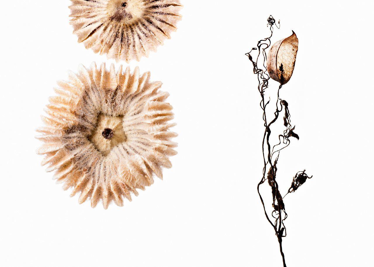 Alcea rosea – Corydalis